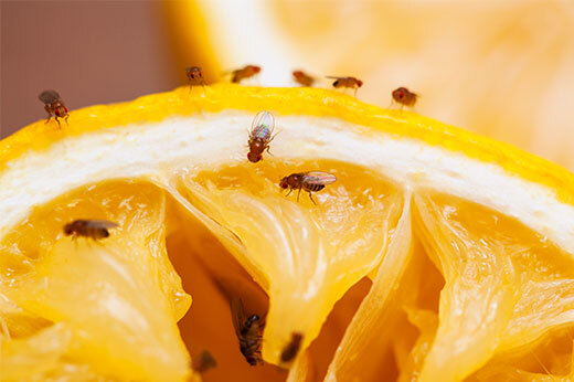 Fruit Flies on an orange